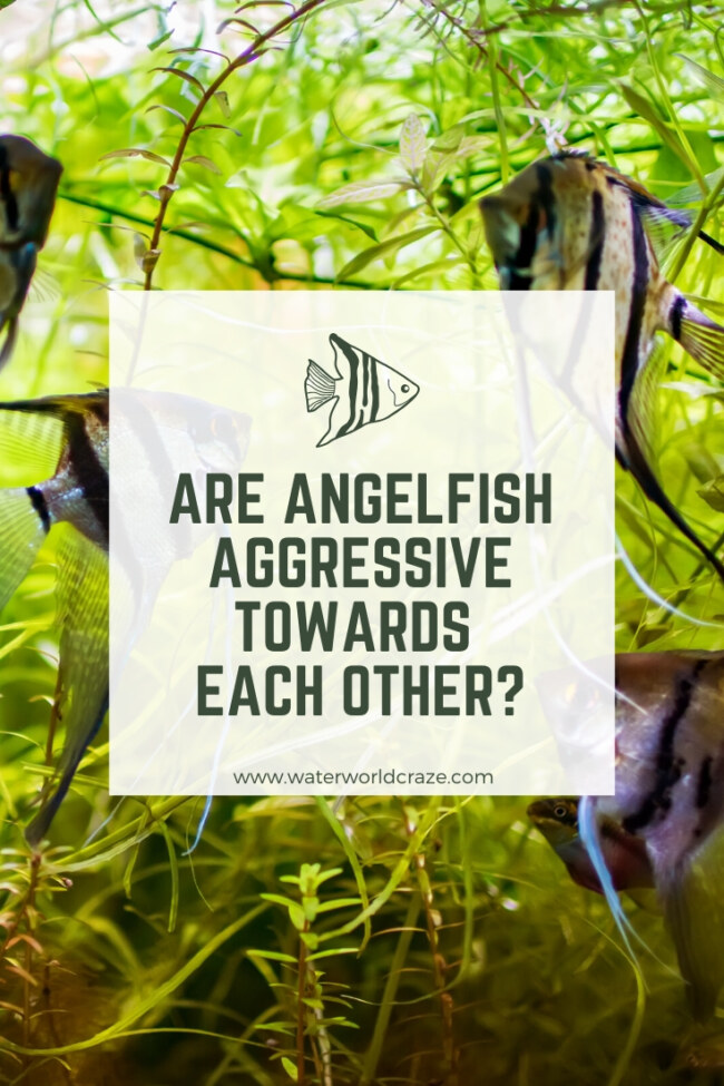 Are angelfish aggressive towards each other?