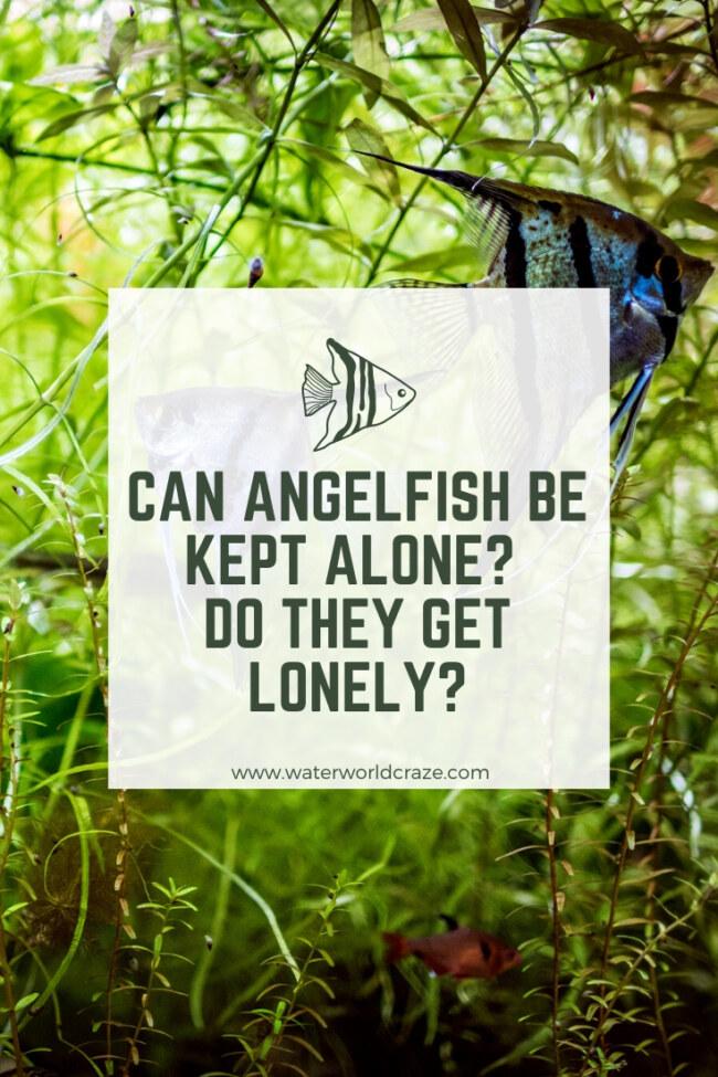 Can I keep angelfish alone?
