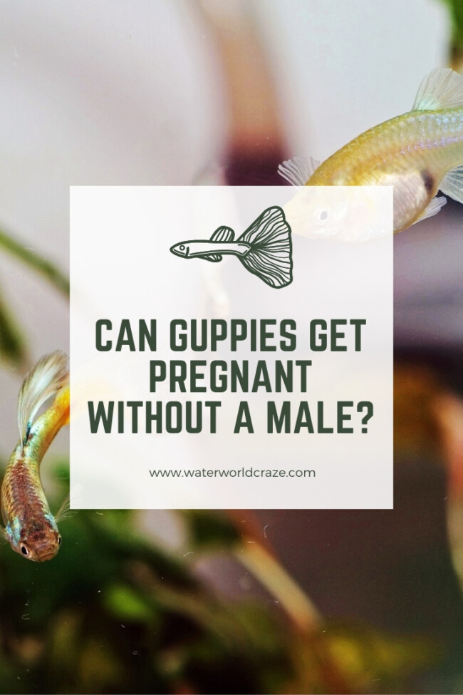 Can guppies get pregnant without a male?