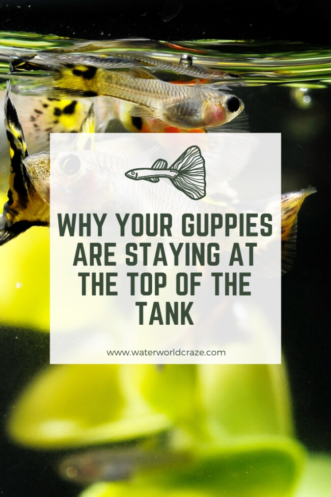 Why are my guppies staying at the top of the tank?