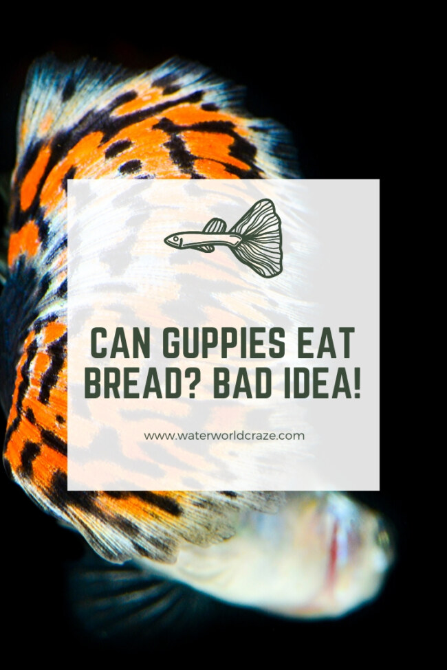 Can guppies eat bread?