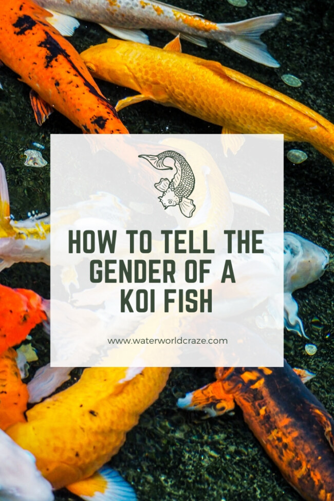 How to tell the gender of a koi fish?