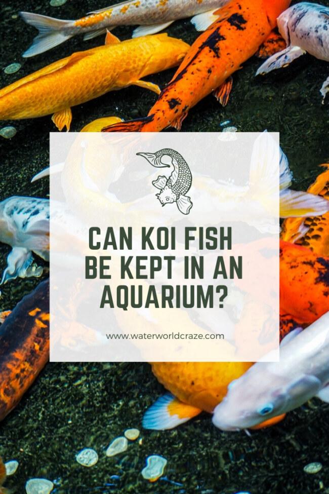 Can koi fish be kept in an aquarium?
