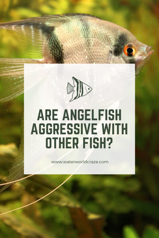Are angelfish aggressive with other fish?