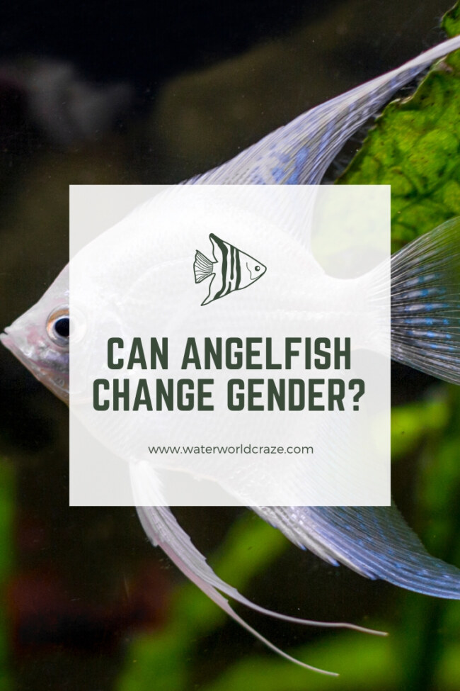 Can angelfish change gender?