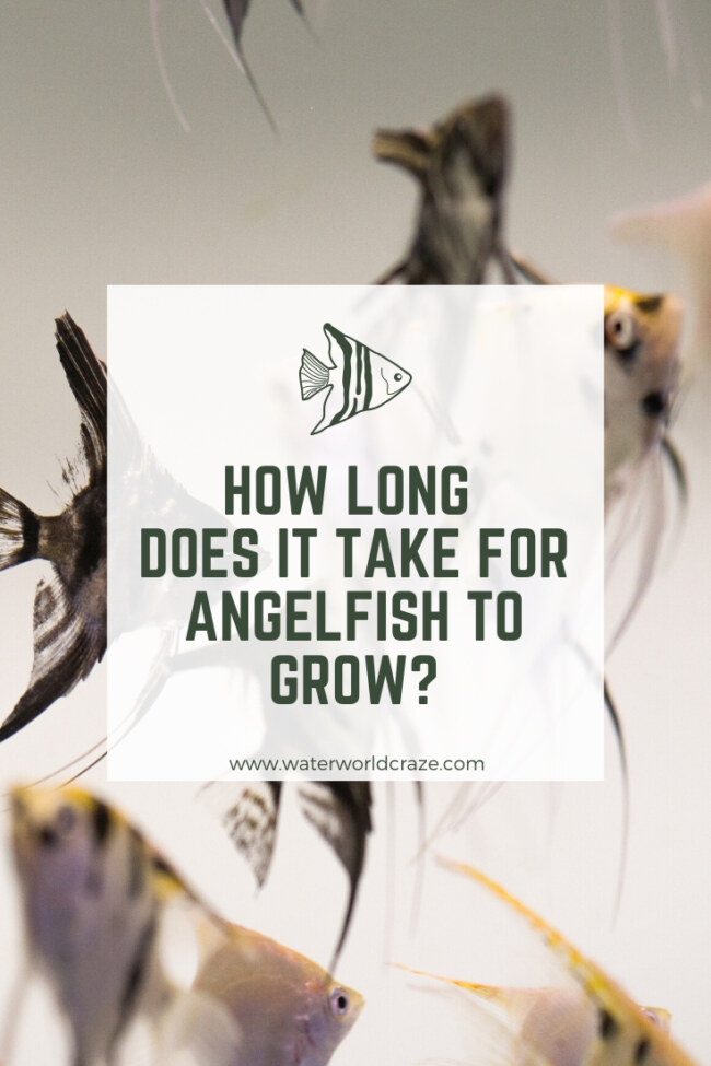 How long does it take for angelfish to grow?