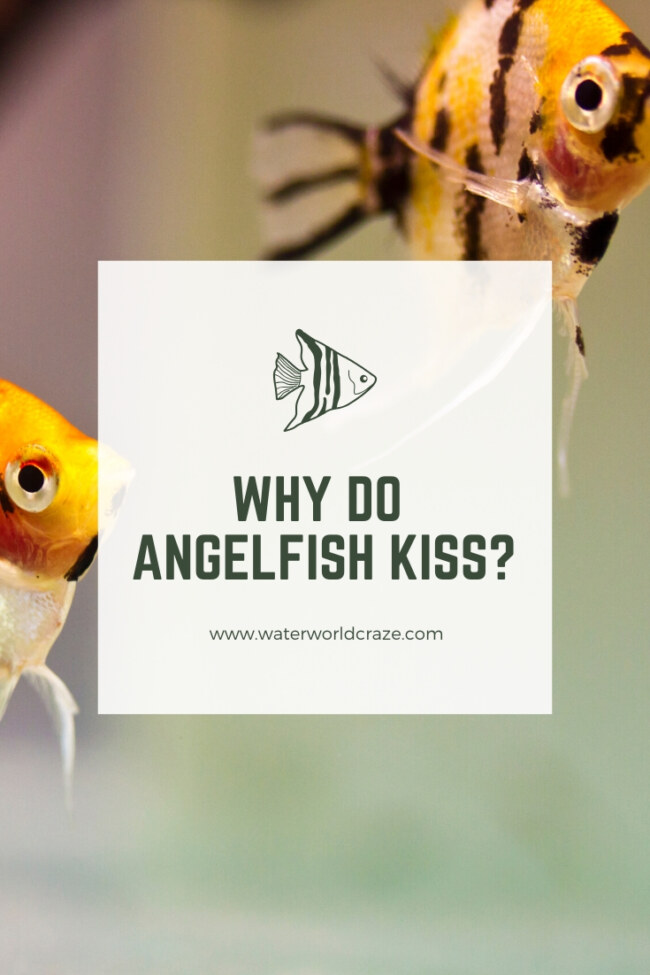 Why do angelfish kiss?