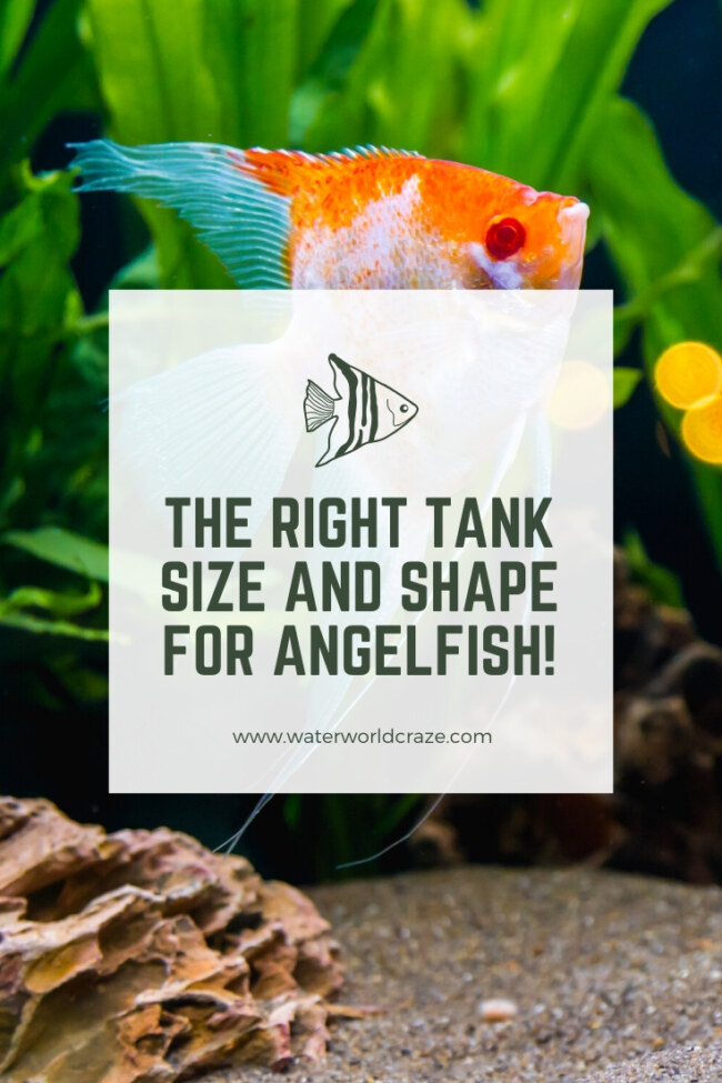 what tank size do angelfish need?