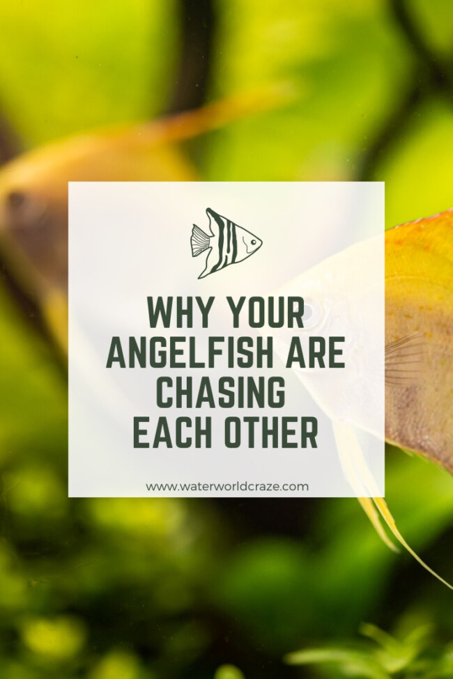 Why are my angelfish chasing each other?