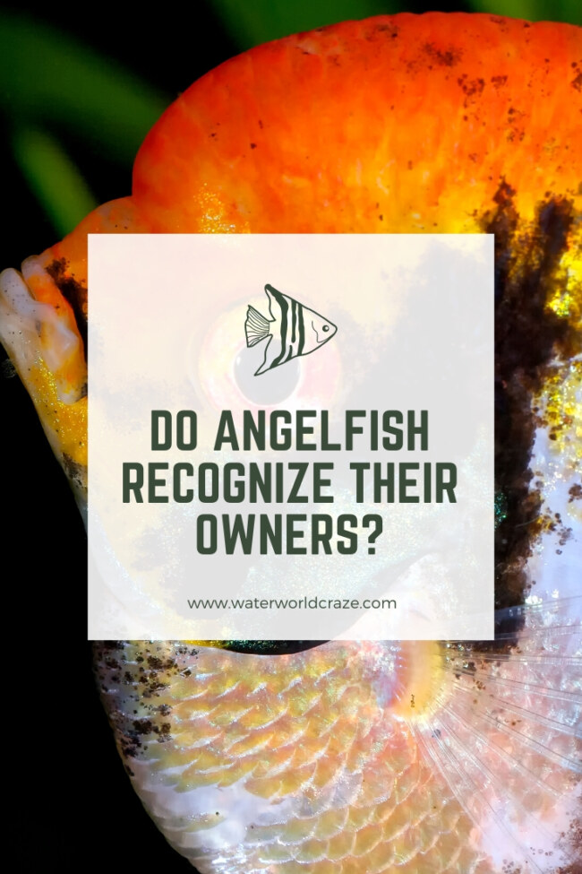 Do Angelfish recognize their owners?