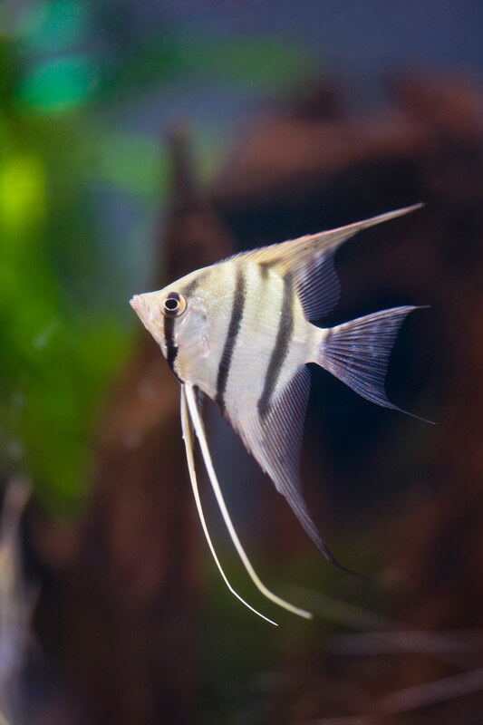 can male angelfish turn into females?