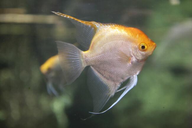 can angelfish change sex?