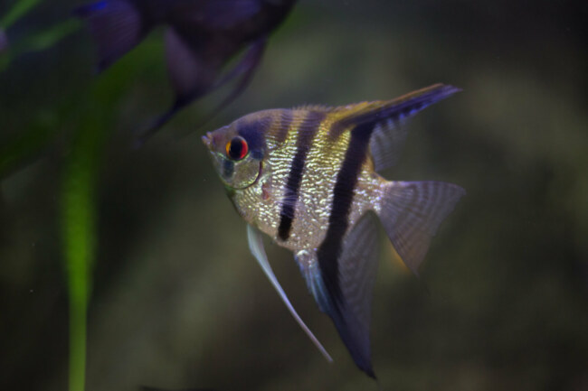 Do angelfish get lonely?