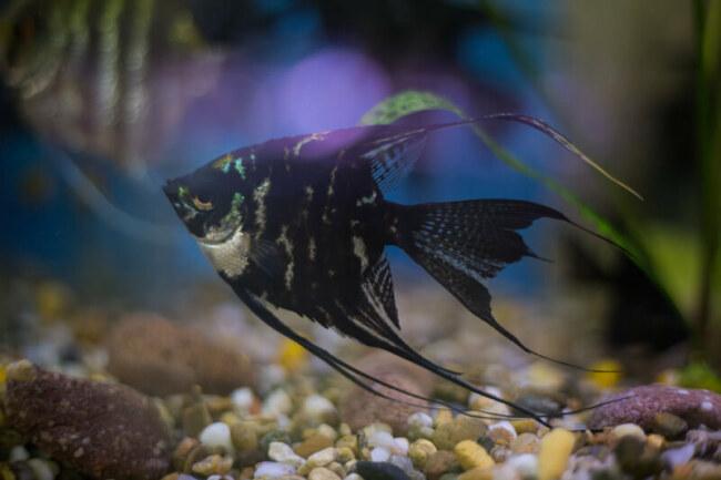 Do female angelfish lay unfertilized eggs?