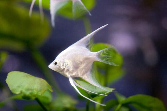 how big do angelfish get?