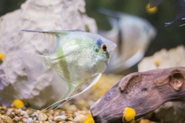 how fast do angelfish grow?