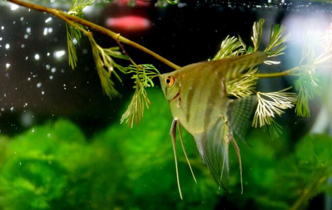 will angelfish kill other fish?