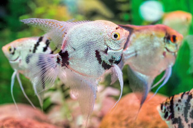 Are angelfish compatible with other fish?