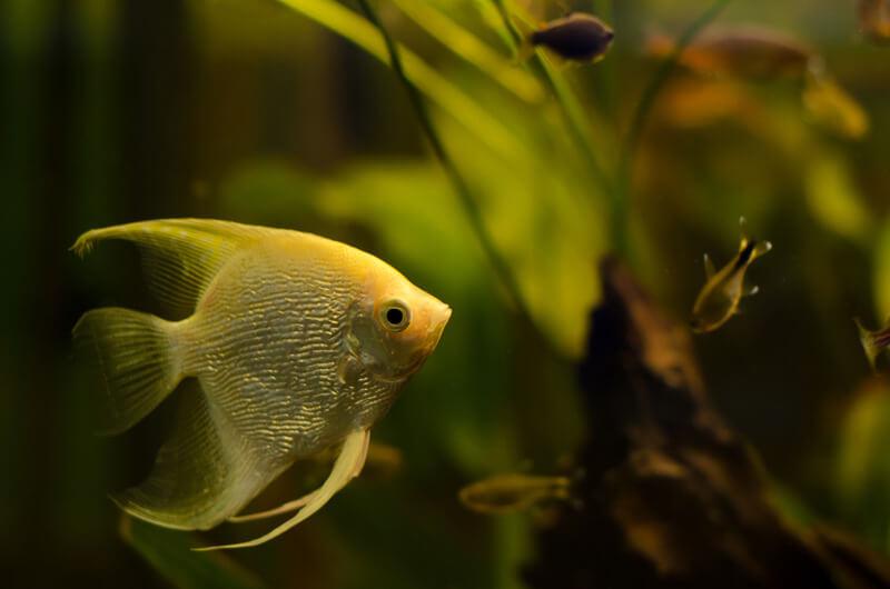 Can I keep a single angelfish?