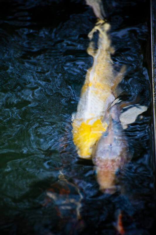 can koi fish bite or kill other fish?