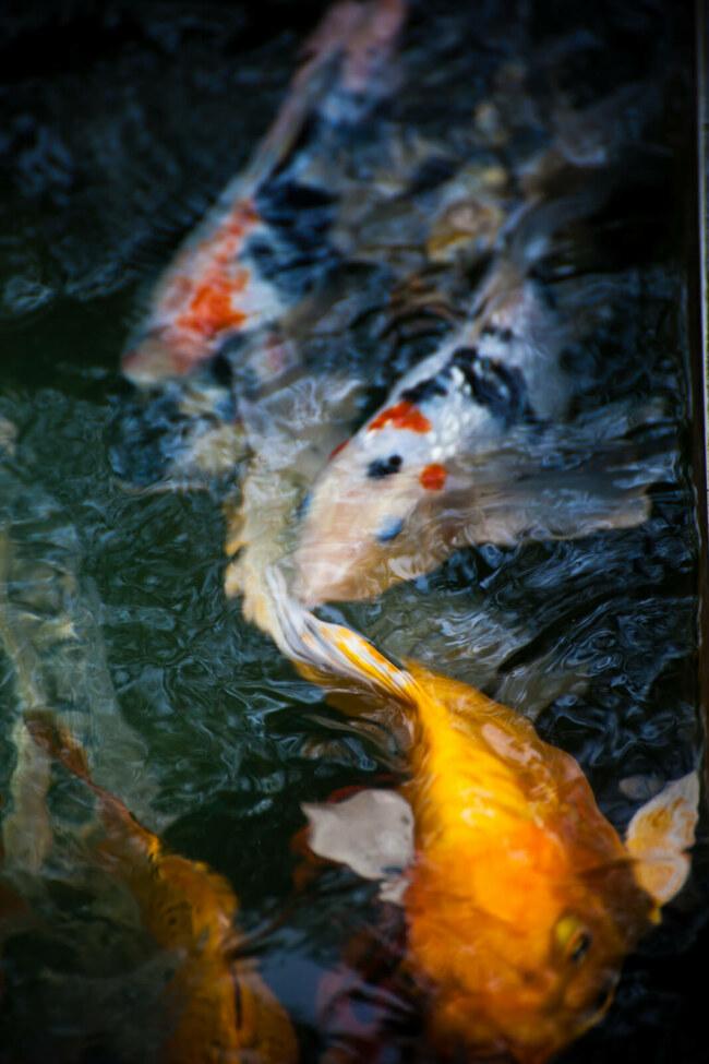 how do koi fish reproduce?