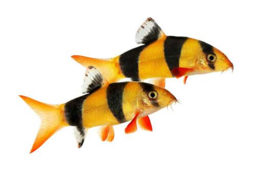Botia Catfish