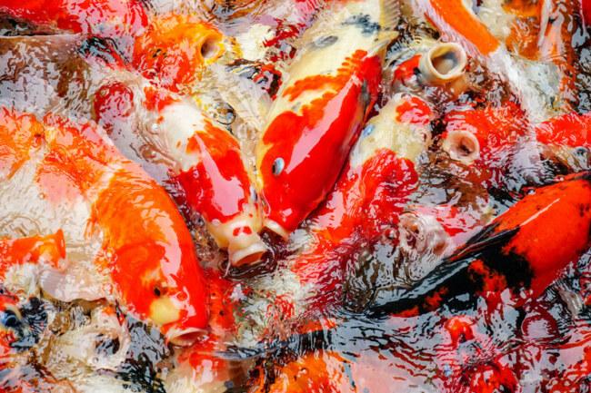 what dog food can I feed my koi fish?