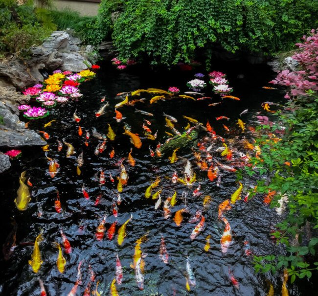 How often do koi fish need to be fed?