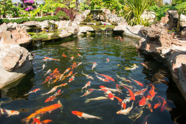 can koi fish and minnows live together?