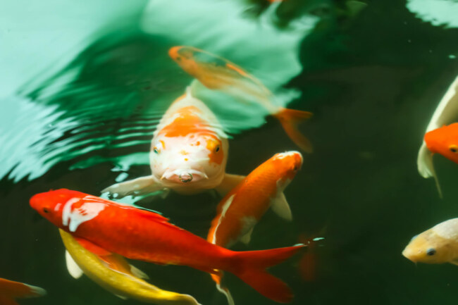 Is spinach healthy for koi fish?