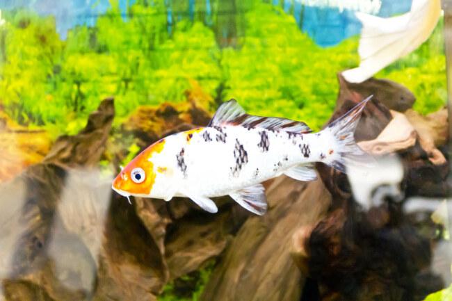 why do koi fish eat their babies?