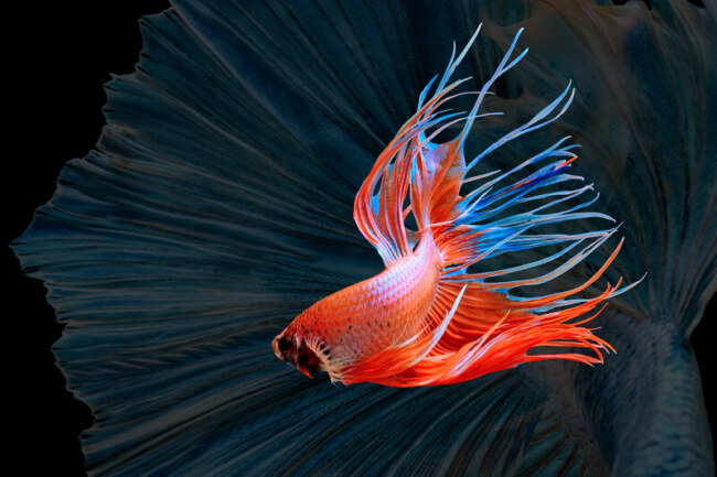 Are betta fish intelligent?