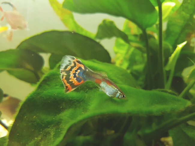why are my guppies swimming at the surface?