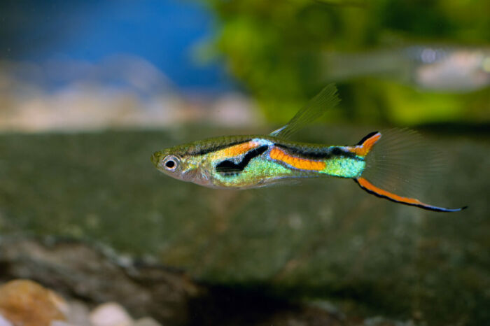 can I keep guppies as a beginner?