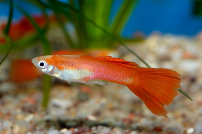 what are other fish guppies can breed with?