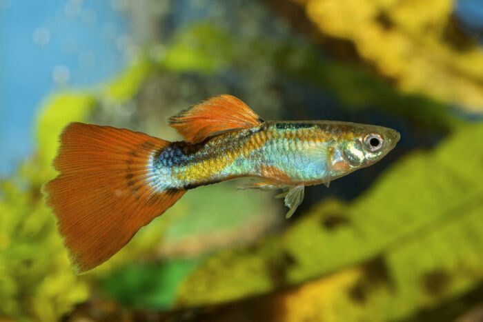 how can I feed my guppies while I am away?