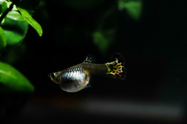should I separate a pregnant guppy from the other fish?