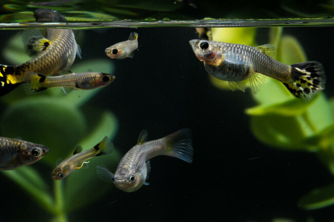 Do Guppies eat their fry?