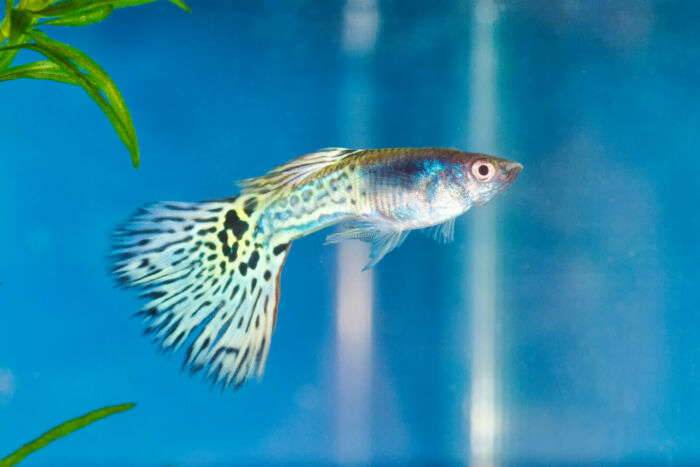 can I keep only male guppies?