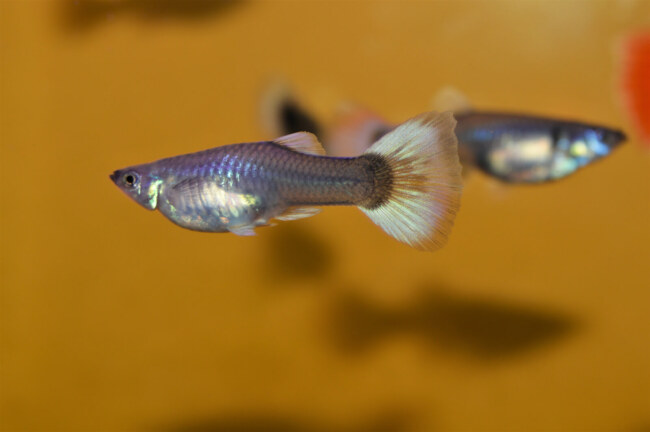 can guppies survive without a filter?