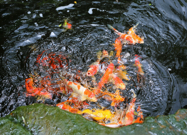 what can koi fish have as treat?