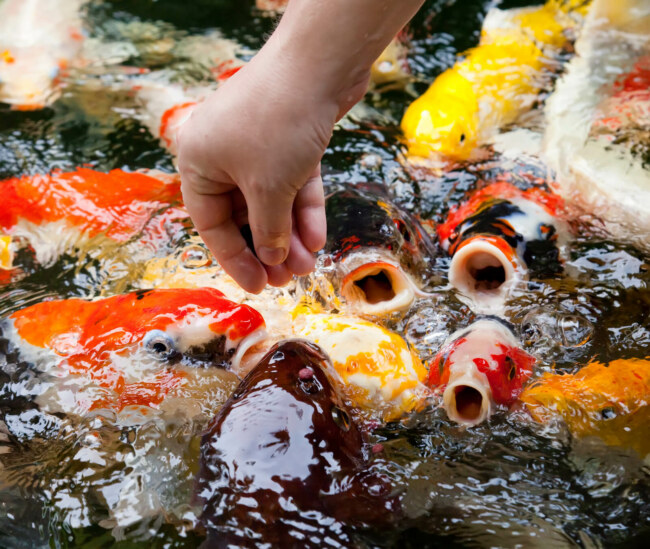 What can I feed my koi fish?