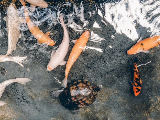 compatible fish with koi