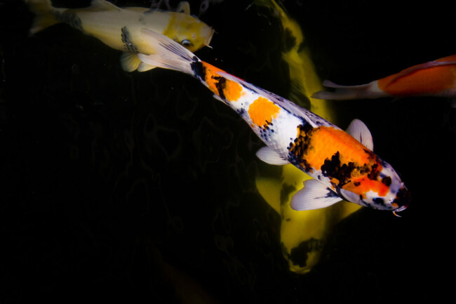 fish that do well with koi