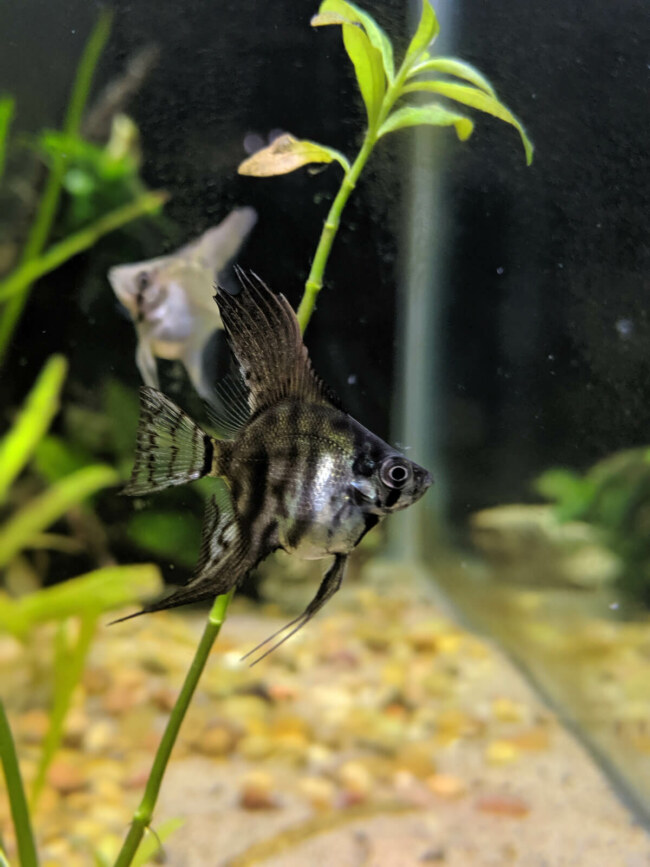 can female angelfish lay eggs alone?