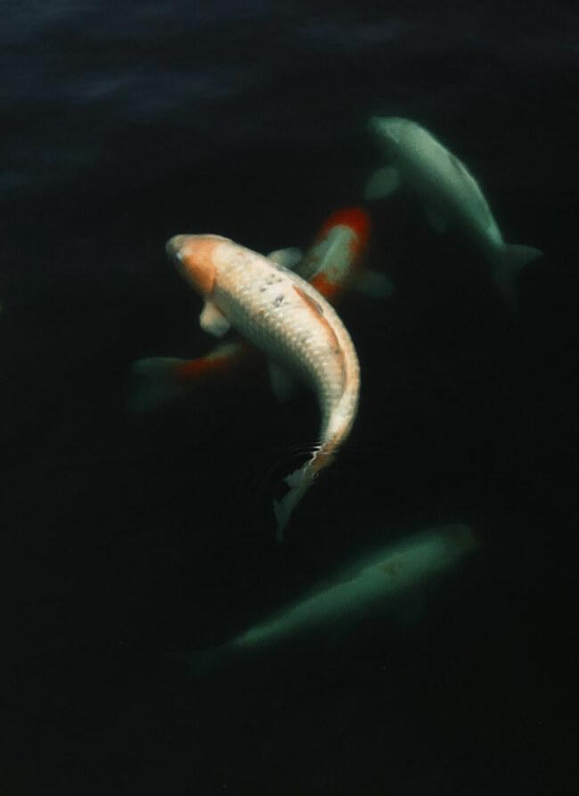 What to feed koi fish?