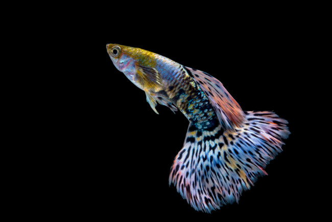 can guppies eat betta food from time to time?