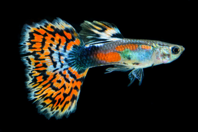 do mother guppies eat their fry?