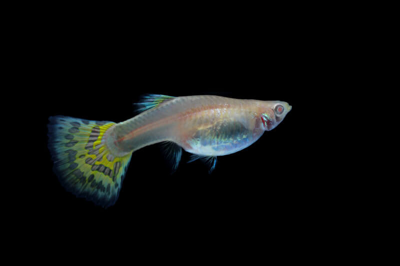 is keeping only male guppies okay?