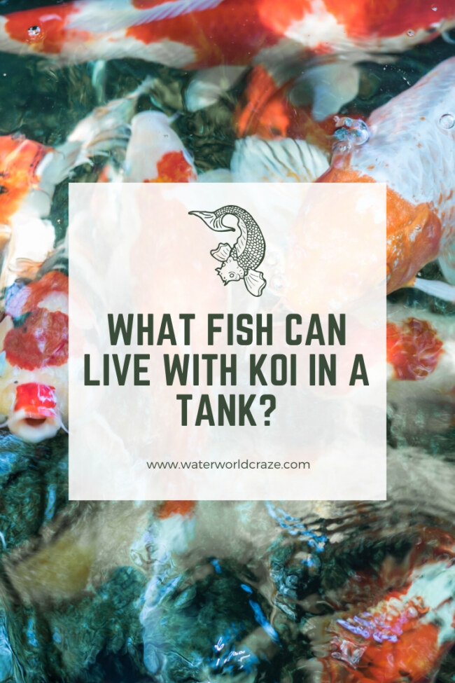 What fish can live with koi in a tank?